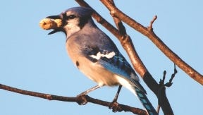 Jays will cache seeds and nuts to retrieve later, and make repeated trips to feeders to gather food and hide it in a safe spot.