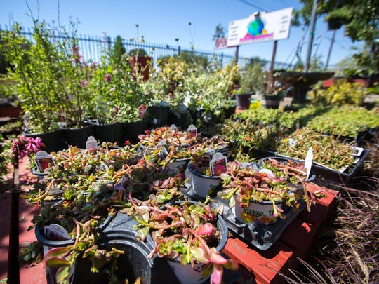 Portulaca plants damaged by Wednesday's hail storm for sale at Guzman's Greenhouse on Avenida de Mesilla, May 19, 2016. An employee of Guzman's estimates that the store lost half its stock, mostly flowering and bedding plants as a result of the storm.