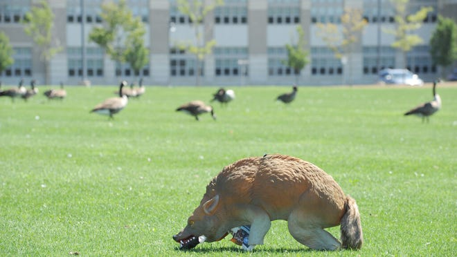 This coyote decoy doesn't seem to scare the flock of geese grazing on the front lawn of Monomoy Regional High School.