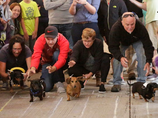 Daschund owners release their dogs during the wiener