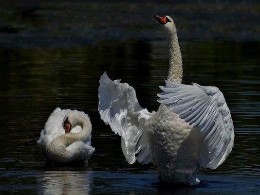 636040949649121263-Swan-I-by-Julie-Lee.jpg