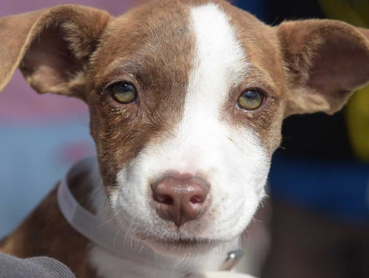Delta - Female pitbull mix, juvenile. Intake date: