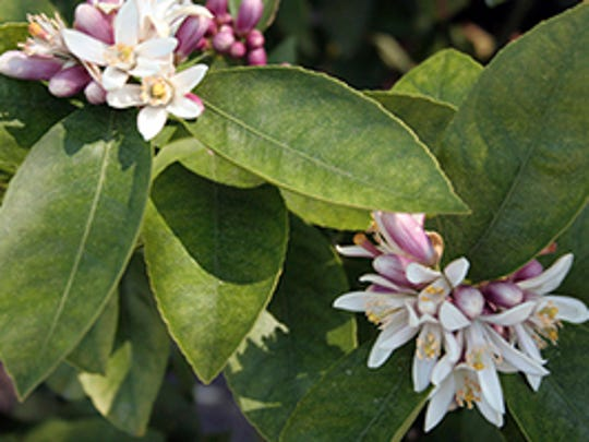 The usual reason for poor fruit production in citrus, particularly Myers lemon, is freezing temperatures around bloom time or shortly after.