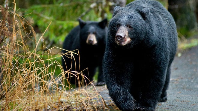 """FILE--In this Oct. 22, 2014, file photo, a black bear sow and her cub walk along the Trail of Time at the Mendenhall Glacier Visitor Center in Juneau, Alaska. A basic rule on what to do when encountering a bear in the wilderness is so common, it's long been a mantra: """"If it's brown, you lie down and if it's black, you fight back."""" (Michael Penn/The Juneau Empire via AP ) ORG XMIT: AKJUN201"""