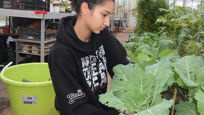 Olivia Jaykar, a Leila Arboretum employee, picks leaves off a chard plant for Gardening 365, Tuesday afternoon.