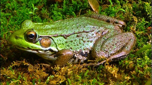 Northern Green Frog (Wikimedia Commons Photo)