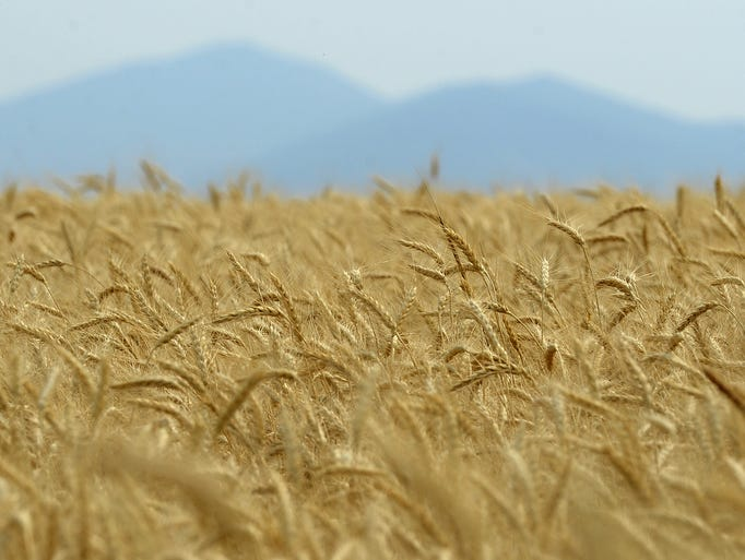 Wheat field ready for harvest east of Great Falls.