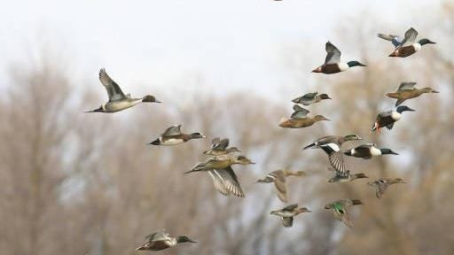 Duck hunting in Louisiana is big business generating $62 million in economic activity annually.