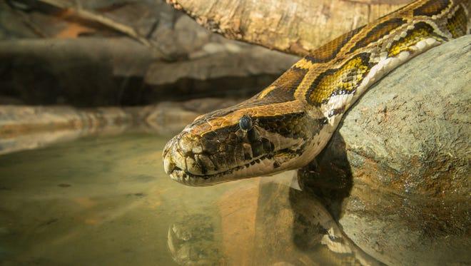 "Burmese python ""Bubba"" at the Predators of the Serengeti habitat at the Oregon Zoo."