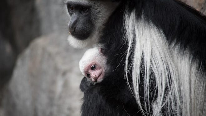 The new baby colobus monkey can be seen peeking out from its mother's fur.