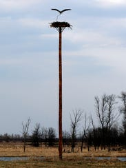 An osprey carries a stick to its nest atop a manmade