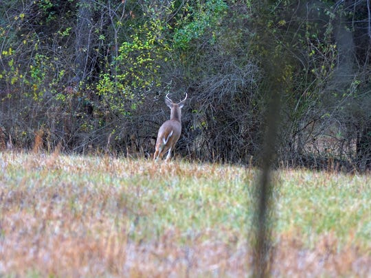 "A buck standing in an open field on the first afternoon of deer ""rifle season."""