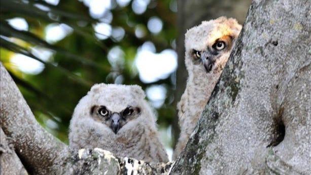 Fluffy owlets brave the cold in a banyan tree. Reader-submitted photo