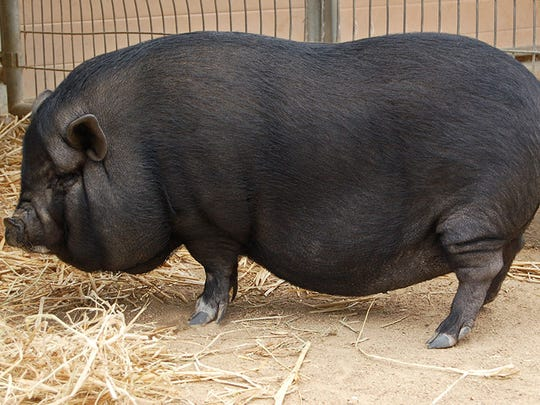 Patsy Swine, 2-year-old female pot belly pig. No. 99872,