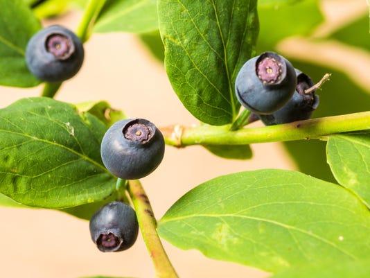 stock huckleberry