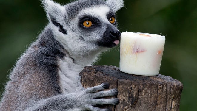 A lemur licks a block of frozen yogurt and fruit to refresh itself in Rome's Bioparco zoo in 2016.