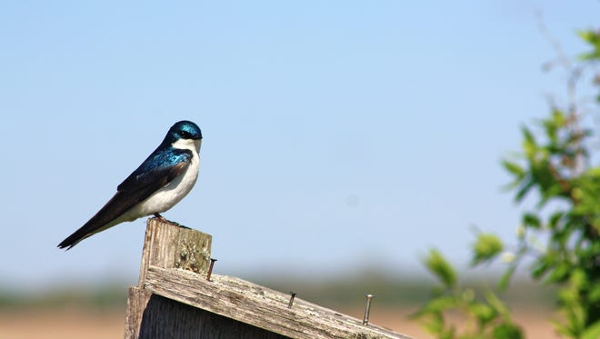 A tree swallow surveys Horicon Marsh from a perch on a bird house.