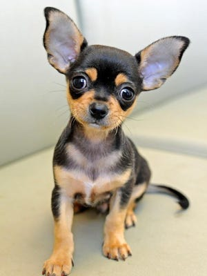 """The 6-week-old Chihuahua mix named """"Pierre"""" was abandoned behind a Main Street restaurant."""
