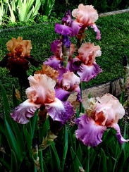 During the height of the Iris bloom, visitors come