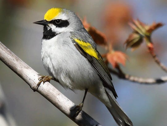 Warblers are known as champion fliers and most of the