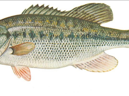 spotted bass.jpg