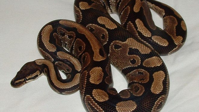 A ball python. A snake that has been on the loose since last month has been captured.