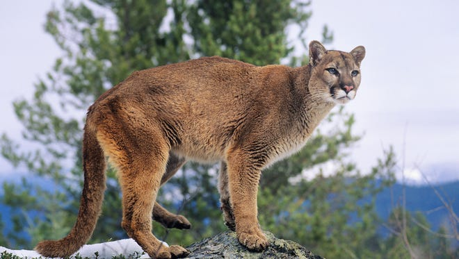 A file photo showing a mountain lion perched on a rock in the wild.