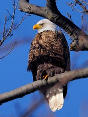 In this 2013 file photo, an American bald eagle positions
