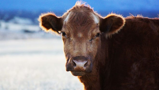 """As technology perseveres into the pasture, science becomes part of cowboying. Select cattle are implanted with computer chips that hold all sorts of individual data. As the need to track cattle origins from the pasture to the meat counter tops and feed efficiency info hits the priority list, """"data based cowboying"""" is on the rise."""