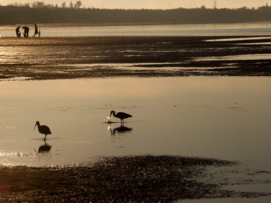 A heron and an ibis feed on a low tide at Bunche Beach on Monday.
