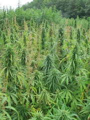 A field of industrial hemp grown in 2017 in Ithaca