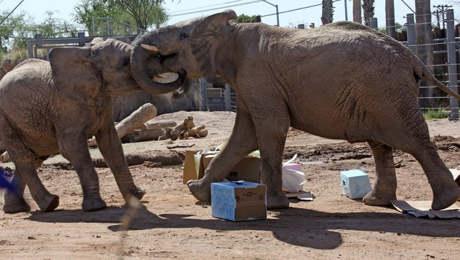 Officials from The Reid Park Zoo said 11-year-old male elephant Punga (right), seen here pushing around his brother Sundzu (left), died from a twisted gut last week.