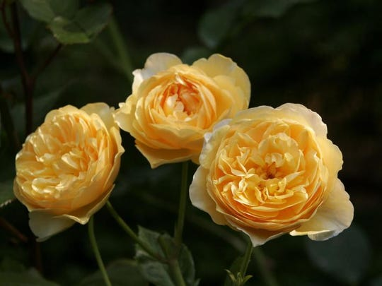 """Graham Thomas"" roses photographed at Boscobel in Garrison."