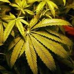 Medical marijuana being grown in Sterling Heights