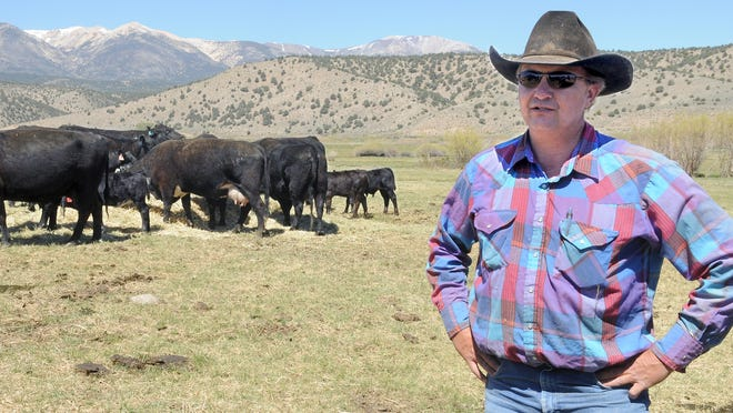 Rancher Todd Sceirine stands with some of the cattle on his ranch south of Smith Valley.