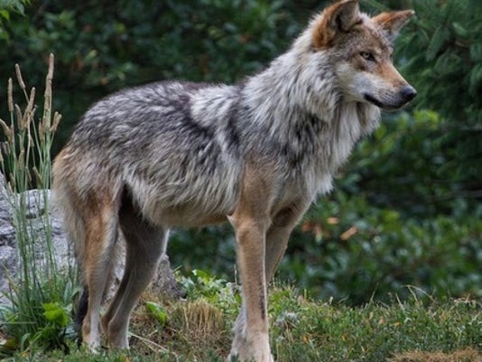 red-wolf.jpg