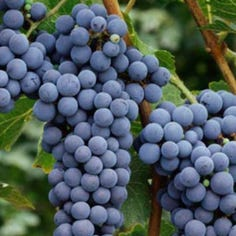 Many vineyards found clever ways to profit off prohibition