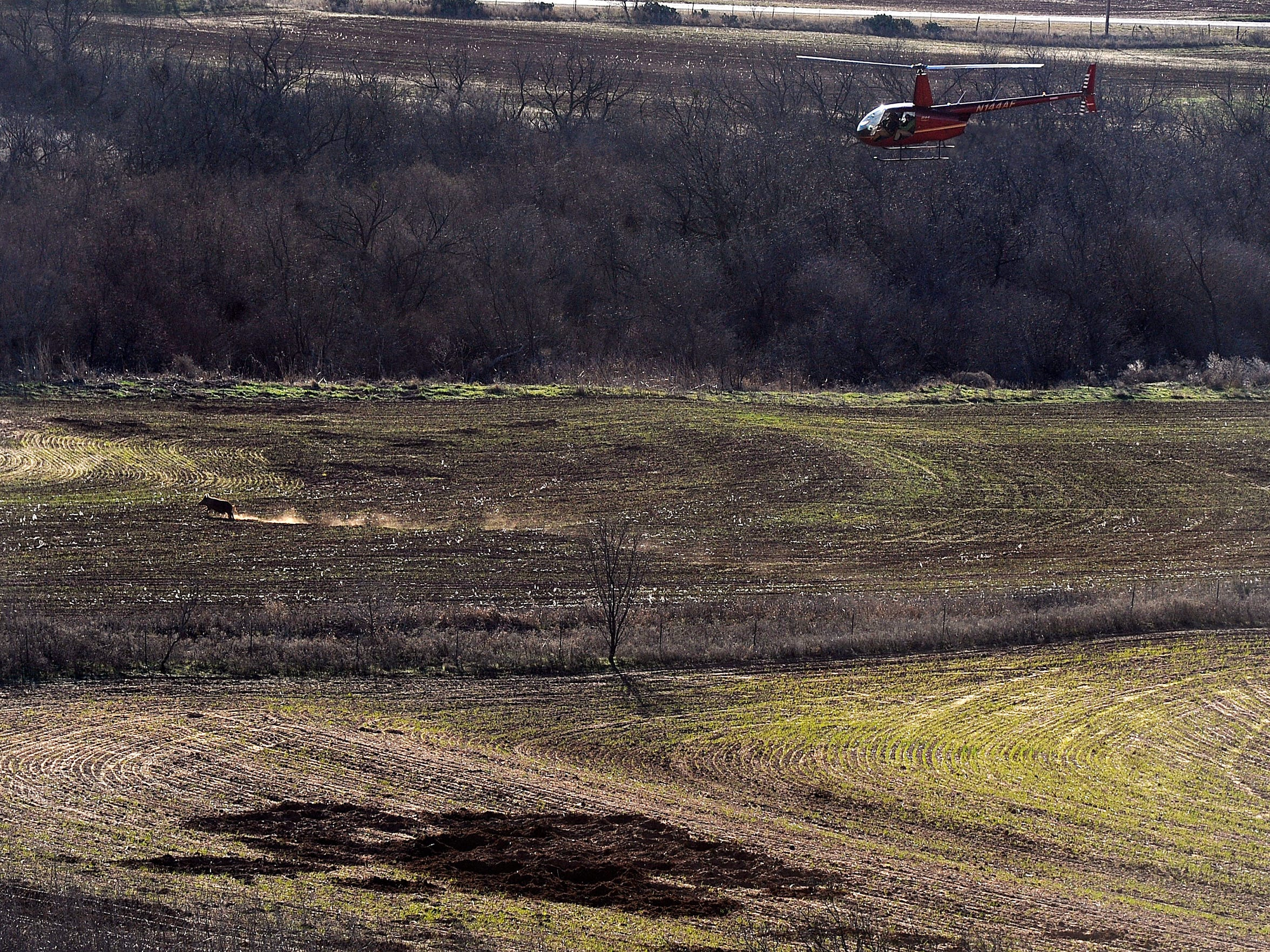 Hunters chase after a feral hog from a helicopter in