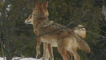 Two coyotes perch on a dune off Lilly Bay Creek, Sturgeon Bay.