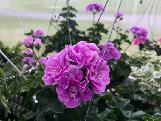 Flowers bloom during Buffalo Gap's spring plant sale