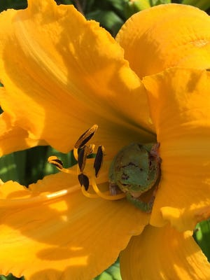 A gray tree frog take refuge in the blossoms of a daylily.