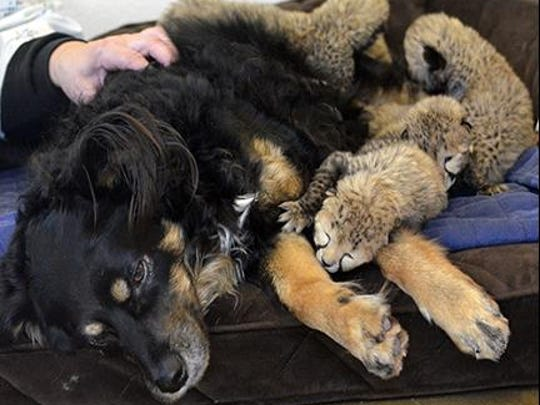 Blakely, an Australian shepherd who serves as a nursery companion at the zoo, has been tasked with serving as a surrogate parent of sorts for the cubs.
