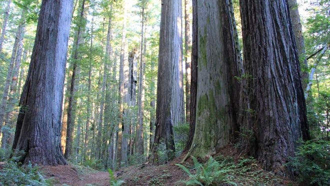 Oregon Redwoods Trail is on Oregon's South Coast, near the town of Brookings. It's one of only two places in the state where redwoods can be found.