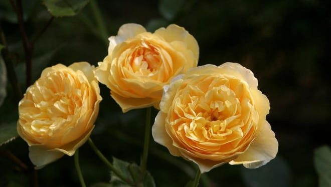 """""""Graham Thomas"""" roses photographed at Boscobel in Garrison. Continue pruning all roses after bloom."""