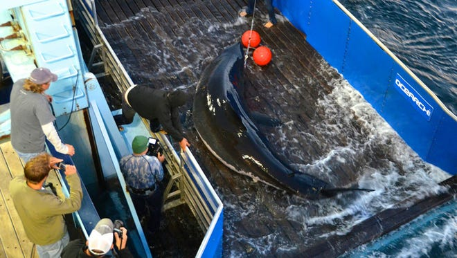 Mary Lee was captured on a Ocearch expedition. Follow her @MaryLeeShark on Twitter.