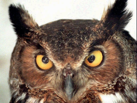 ITH GREAT HORNED OWL