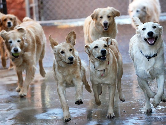 Golden Retrievers are considered to have good-natured,