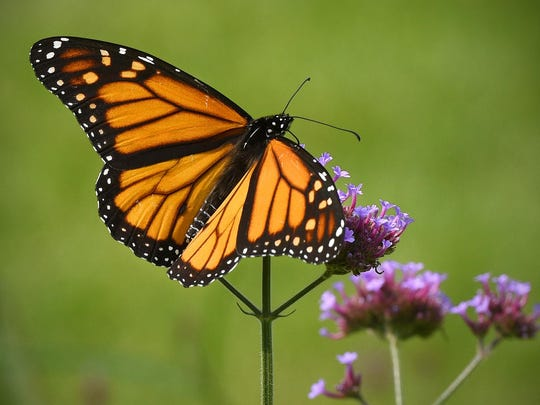 A monarch butterfly lands on flowers Aug. 27 at Munsinger Gardens in St. Cloud. When the U.S. Fish & Wildlife Service plants or reseeds Waterfowl Production Areas with a focus on habitat that benefits monarchs and other pollinators, it aims for a range of forbs that flower spring through fall. Minnesota is an important breeding area for monarchs.