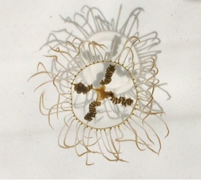 Tiny But Very Dangerous Clinging Jelly Fish Are Vacationing in New ...