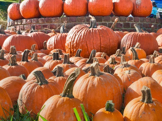 An array of pumpkins at a past Beacon Sloop Club Pumpkin